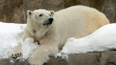 Conoce a Blizzard, el oso polar que se hizo viral por disfrutar de la nieve en EU