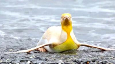 pinguino amarillo