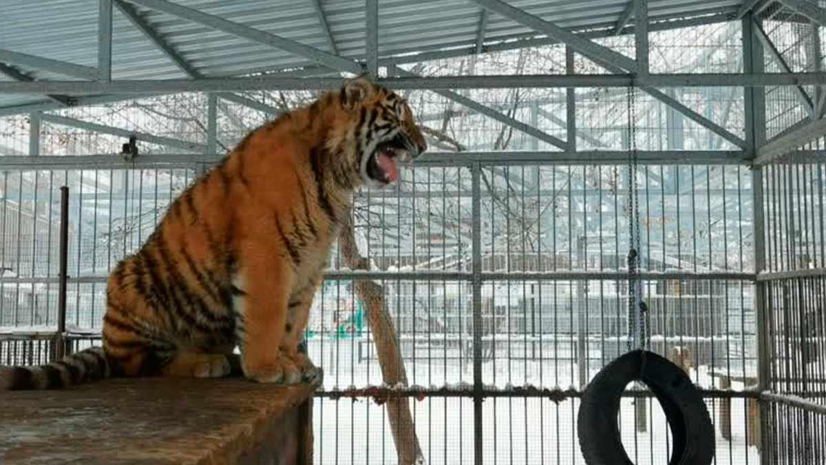 tigre cantando