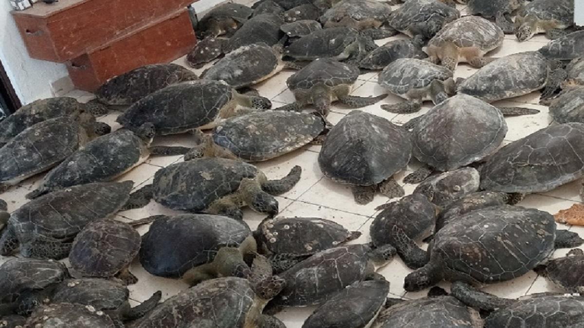 Semar rescata 130 ejemplares de tortuga verde en Tamaulipas