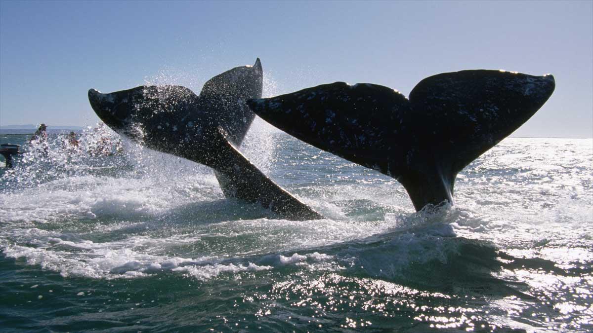 Baja California Sur: ballenas grises rodean bote en laguna