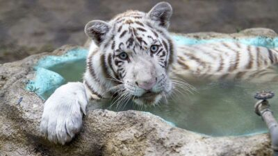 En Campeche localizan tigre de bengala tras cateo en inmueble