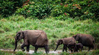 elefante en peligro de extinción