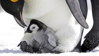 Captan extraño pingüino blanco en la Antártida