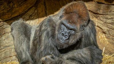 Nueve simios fueron vacunados contra el COVID-19 en EU