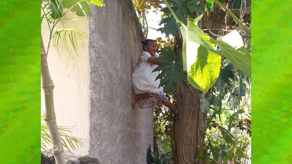 En Yucatán captan a abuelita trepando árbol para cortar fruta