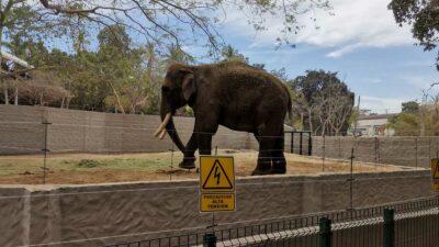 Elefante Big Boy llega a Culiacán; vivirá en santuario