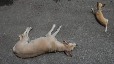 ¡Héroe de 4 patas! Perro rescata a amiguito que cae a alberca por accidente