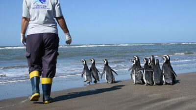 Liberan a 12 pingüinos de Magallanes en costas de Argentina