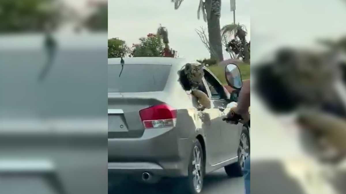 Sinaloa: Pasean a tigre en auto a plena luz del día en Mazatlán