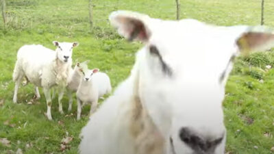 Oveja ataca a dron para proteger a sus crías