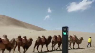 Semáforo para camellos