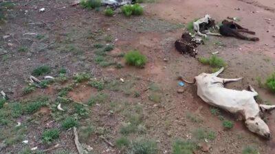 Durango: deja sequía al menos 30 mil cabezas de ganado muertas