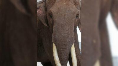 """Video: elefante agradece a excavadora por """"rescatarlo"""" de zanja"""