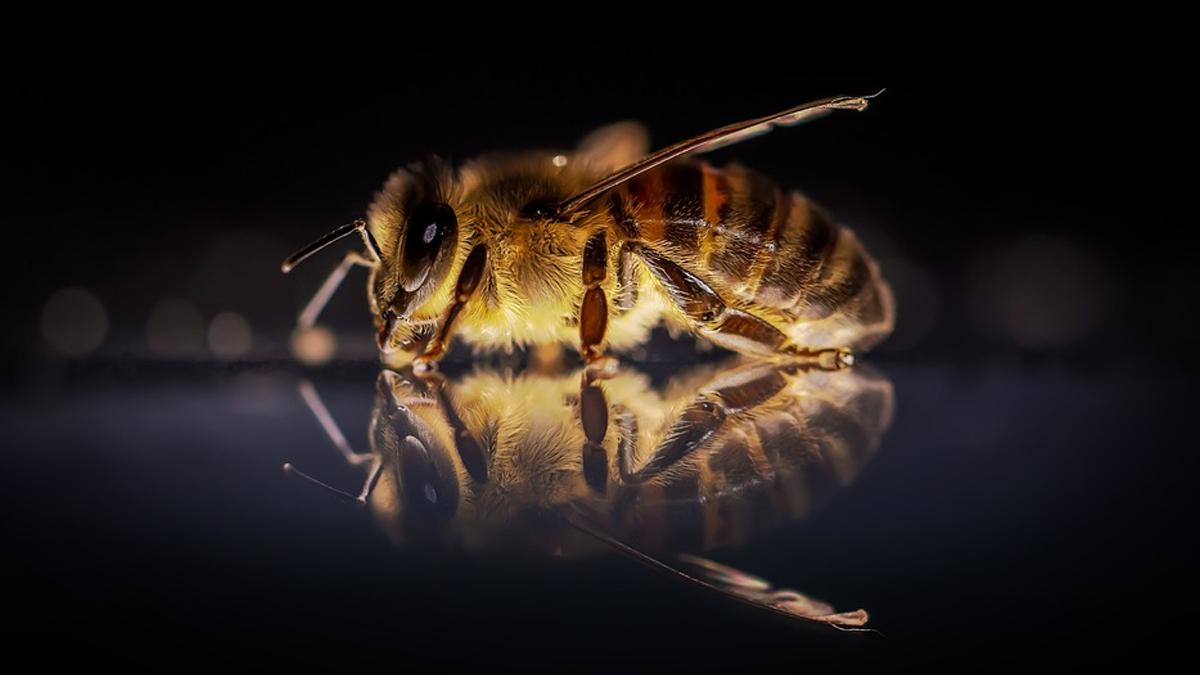 Científicos entrenan abejas para detectar COVID-19 en segundos