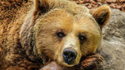 Acusan al príncipe de Liechtenstein de matar al oso más grande de Rumania