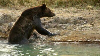 Video Oso Baloo