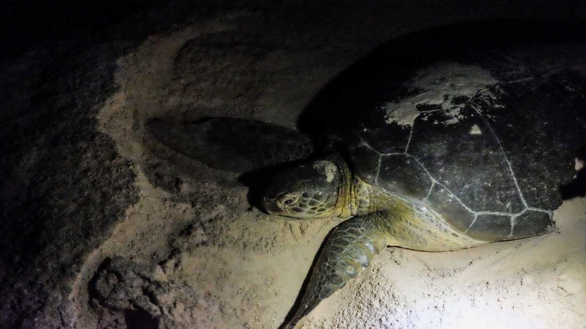 Baja California Sur: hay alarma por tortugas caguama muertas