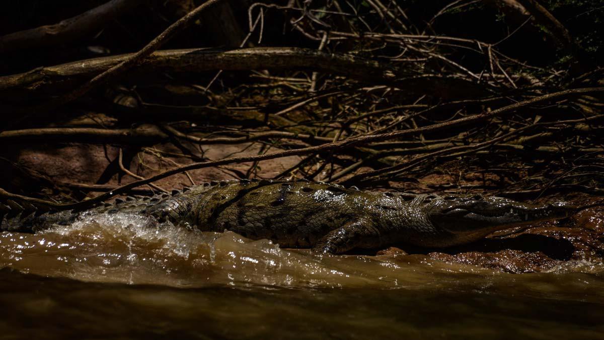 Tamaulipas: graban a cocodrilo en zona habitada de Tampico