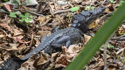 Tamaulipas: cocodrilo atrapa a mujer que lavaba ropa en laguna de Tampico
