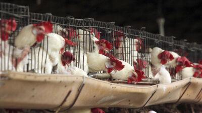 Influenza aviar H10 N3