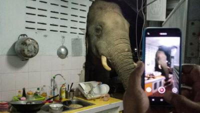 En Tailandia, elefante visita con regularidad a familia en su cocina