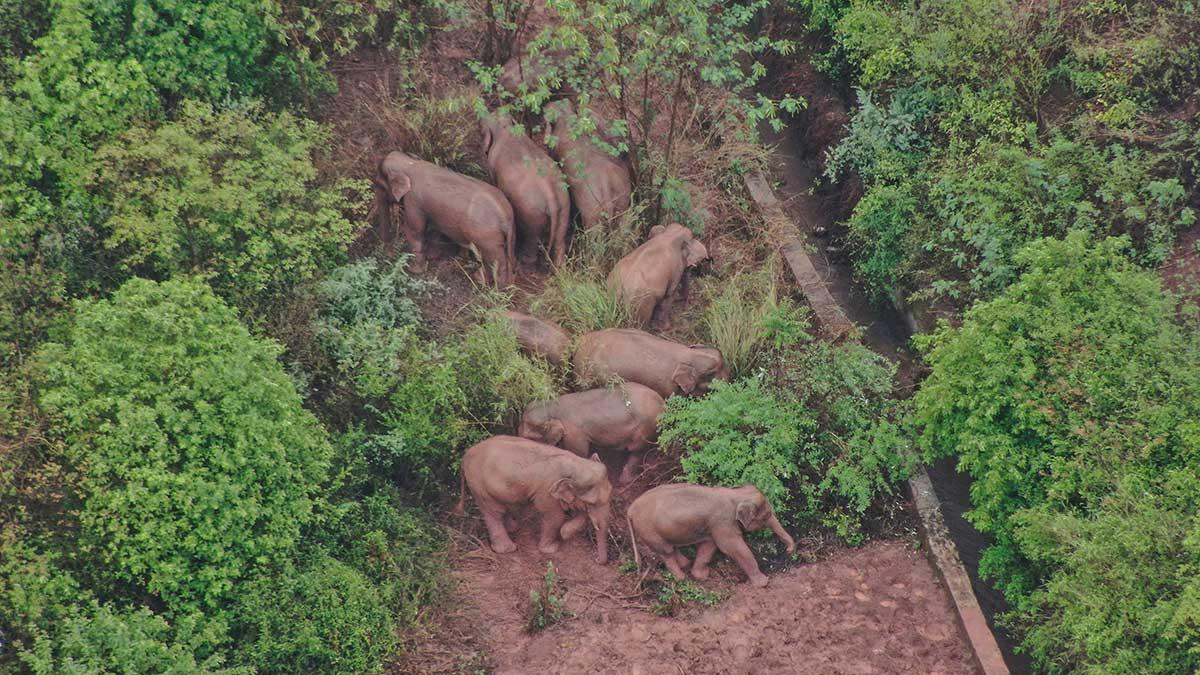 Los elefantes parecen estar en buen estado de salud y nadie ha resultado herido. Foto: AFP