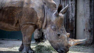 Emma, la rinoceronte blanca que inició una odisea por amor
