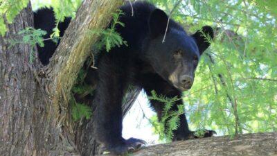 oso Thornton