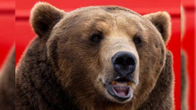California oso perros