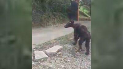 Nuevo León: captan en video a oso desnutrido en Santiago