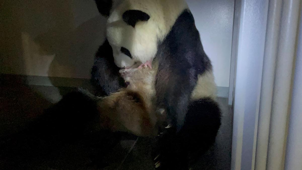 Panda da a luz a mellizos en zoológico de Tokio
