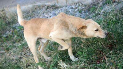 Perro es robado de su dueño de 10 años por hombres con armas blancas en Irapuato