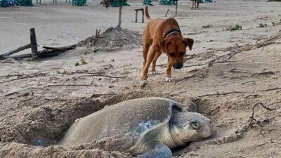 Tamaulipas: Solovino, el perrito que cuida tortugas y es viral