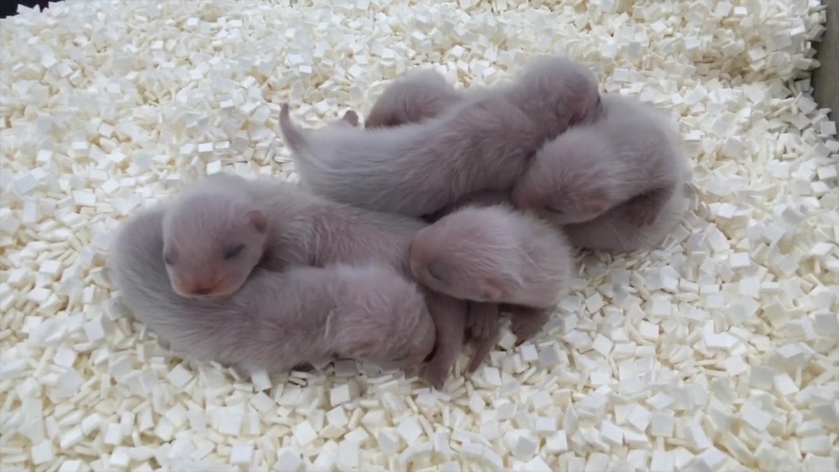 bebés de hurón