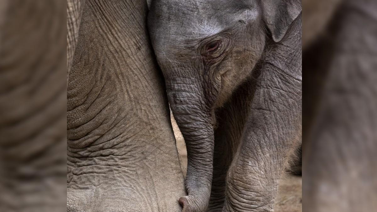 Bebe Elefante Llora