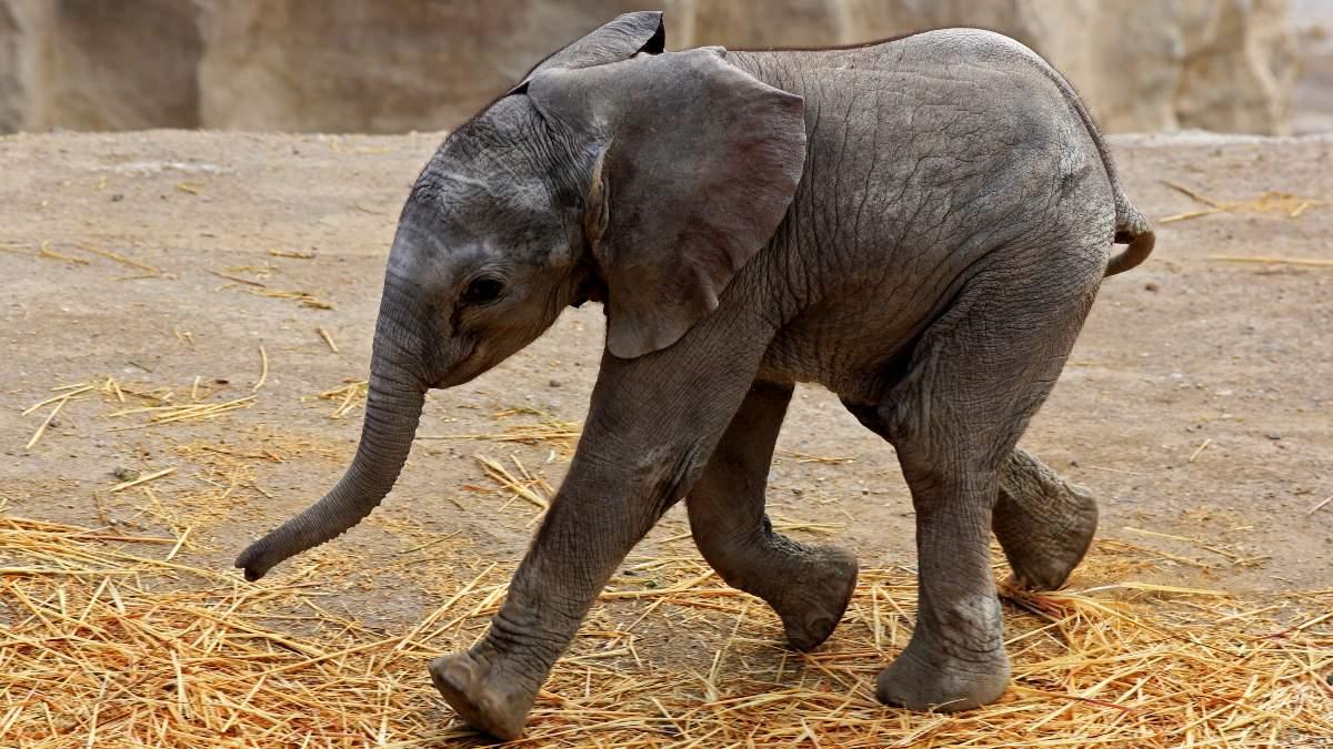 China: veterinarios curan a elefante herido luego de ser abandonado por su manada