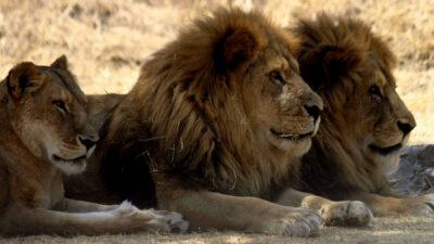 En Kenia, león provoca pánico en concurrido barrio de la capital