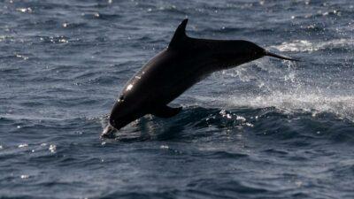 delfín Culiacán