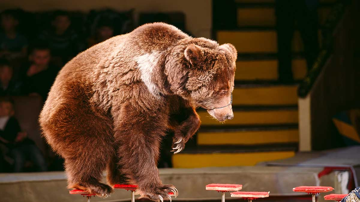 En Rusia, oso de circo ataca a su entrenadora durante un show
