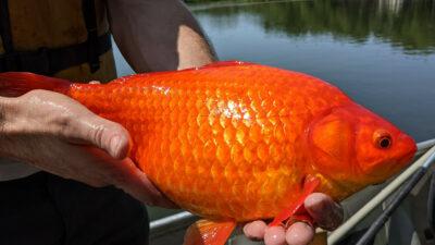Peces dorados gigantes invaden lago en Burnsville, Minnesota