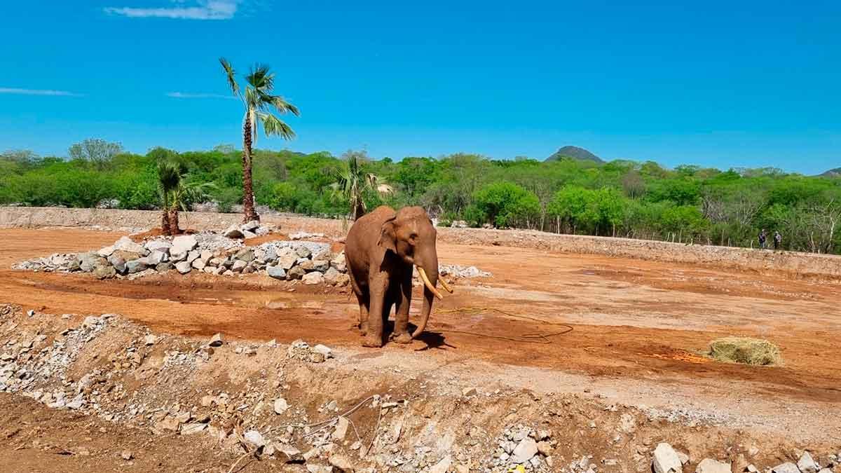 """Sinaloa: Elefante """"Big Boy"""" conoce su nuevo hogar"""