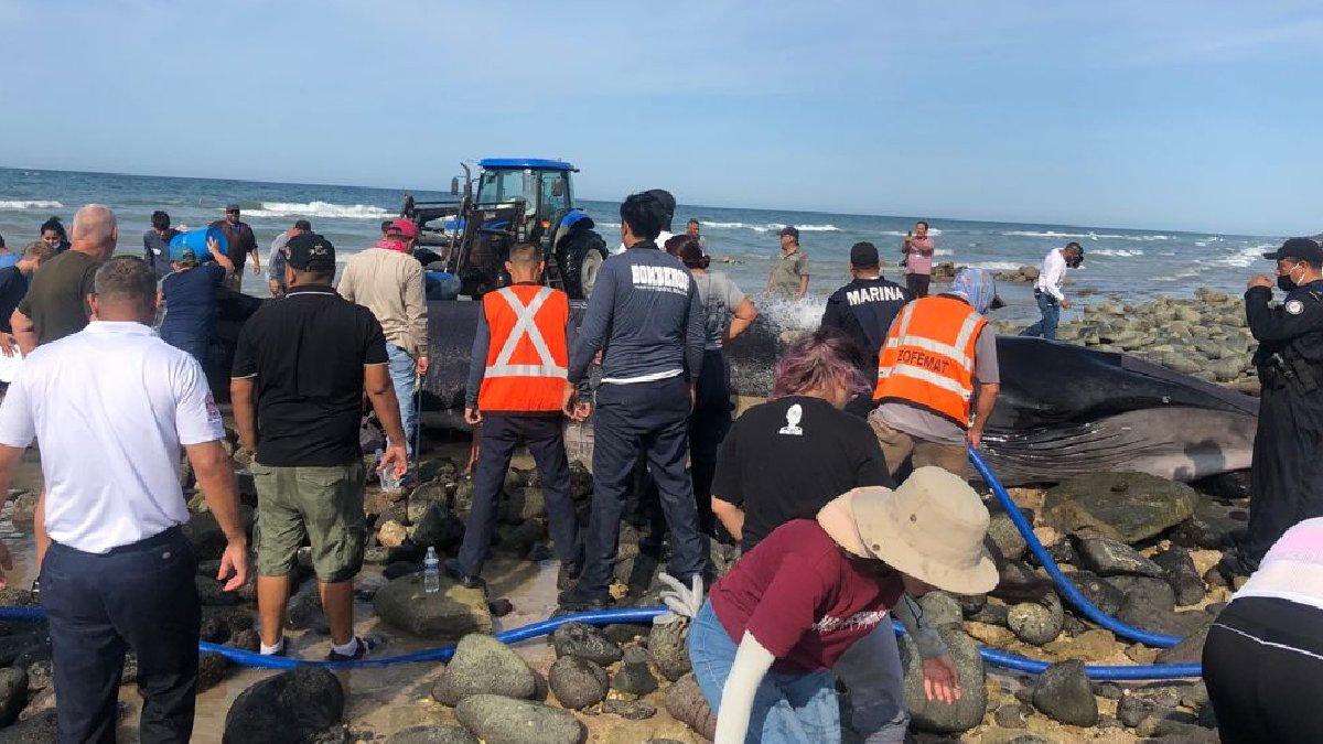 Sonora: Rescatan a ballena varada en playa de Puerto Peñasco
