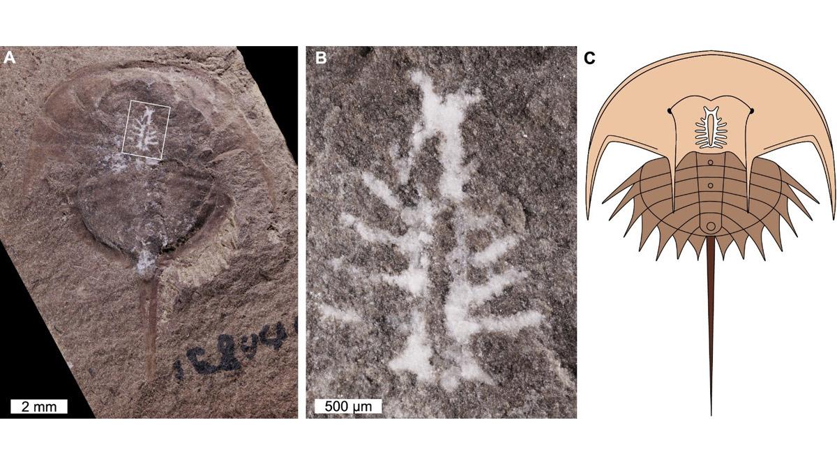 cerebro fósil