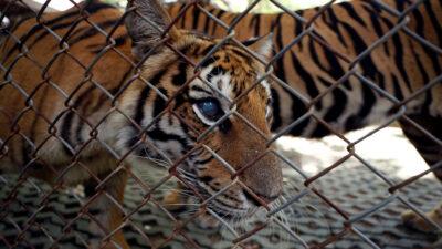 Zoológico de Oakland vacuna contra el COVID-19 a estos animales
