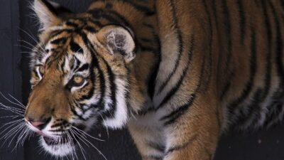 Quintana Roo: Captan a tigre suelto en carretera Cancún-Leona Vicario