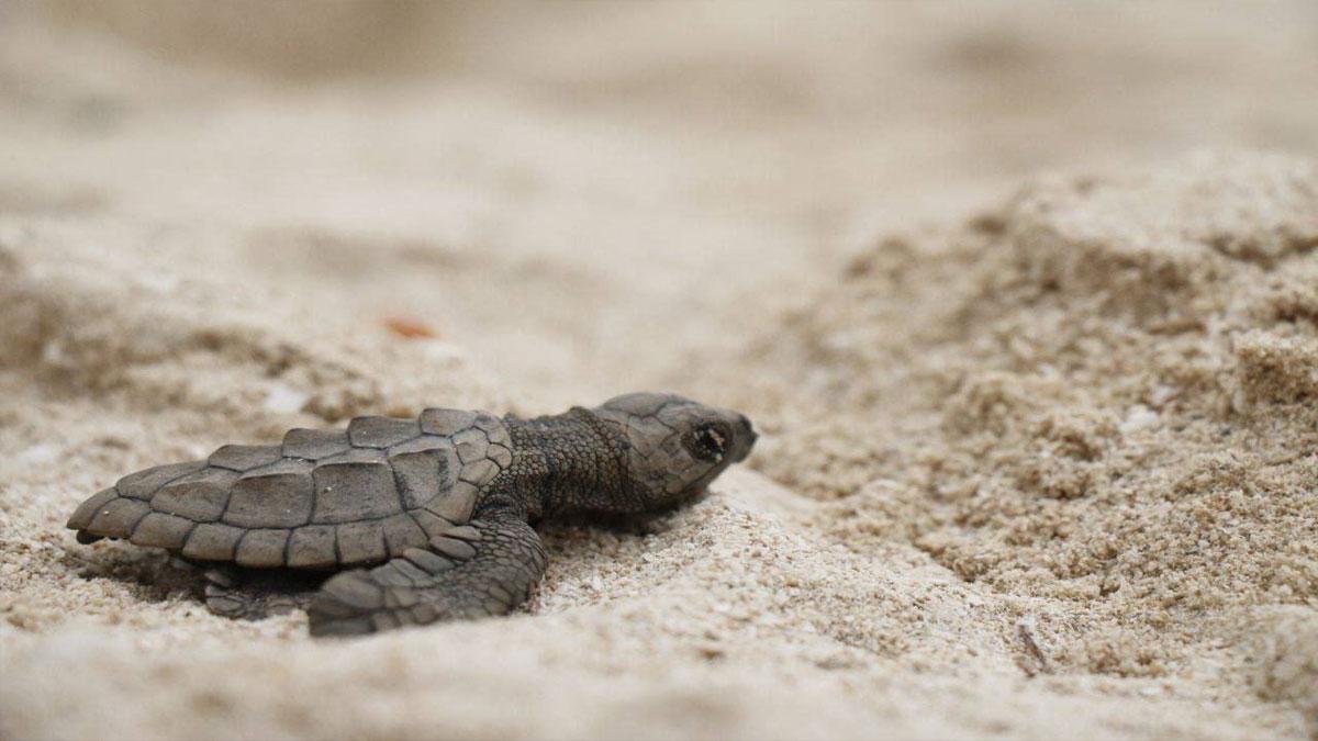 Yucatán: escenario nuevo para nacimiento de tortugas Lora