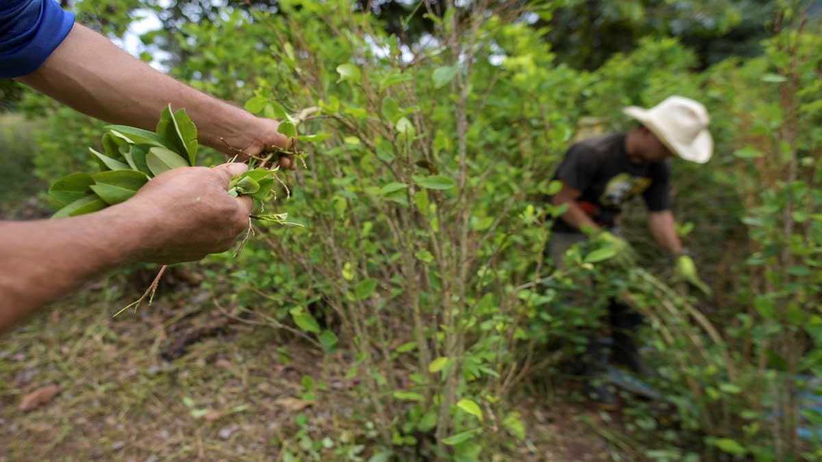 San Coca: un viaje a la pujante economía ilegal de Colombia por el cultivo de cocaína
