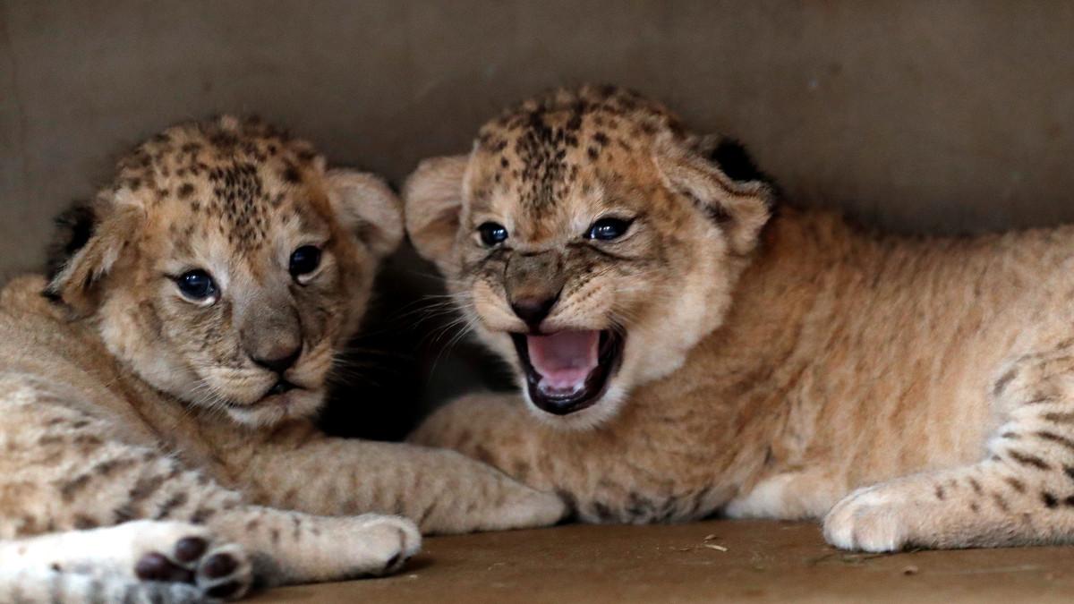 ¿Por qué leones y guepardos integran la Lista Roja de Especies Amenazadas?