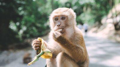 Mamá mono ataca a turista que ahorcó a su cría para una foto